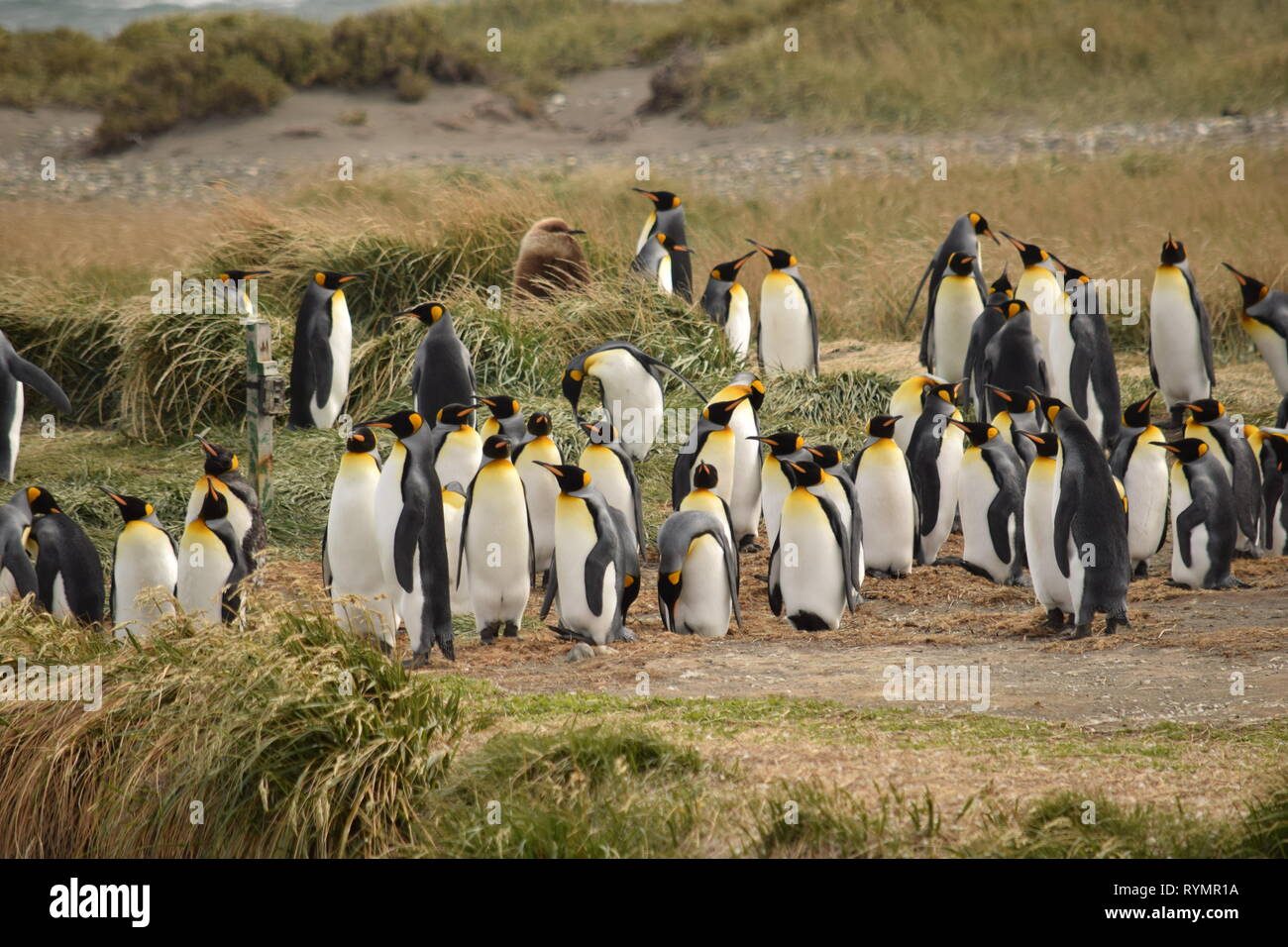 Penguins in Punta Arena, Patagonia, Argentina, South America Stock Photo