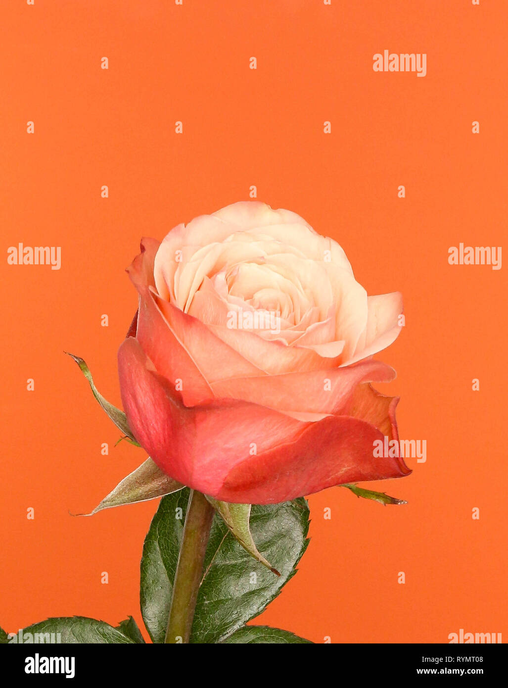 Pink and orange rose with a hint of living coral, on an orange background. - Stock Image