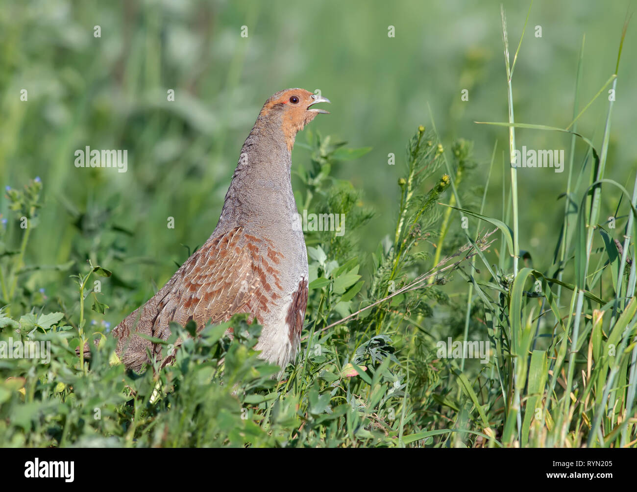 Grey partridge singing loudly in green grass - Stock Image