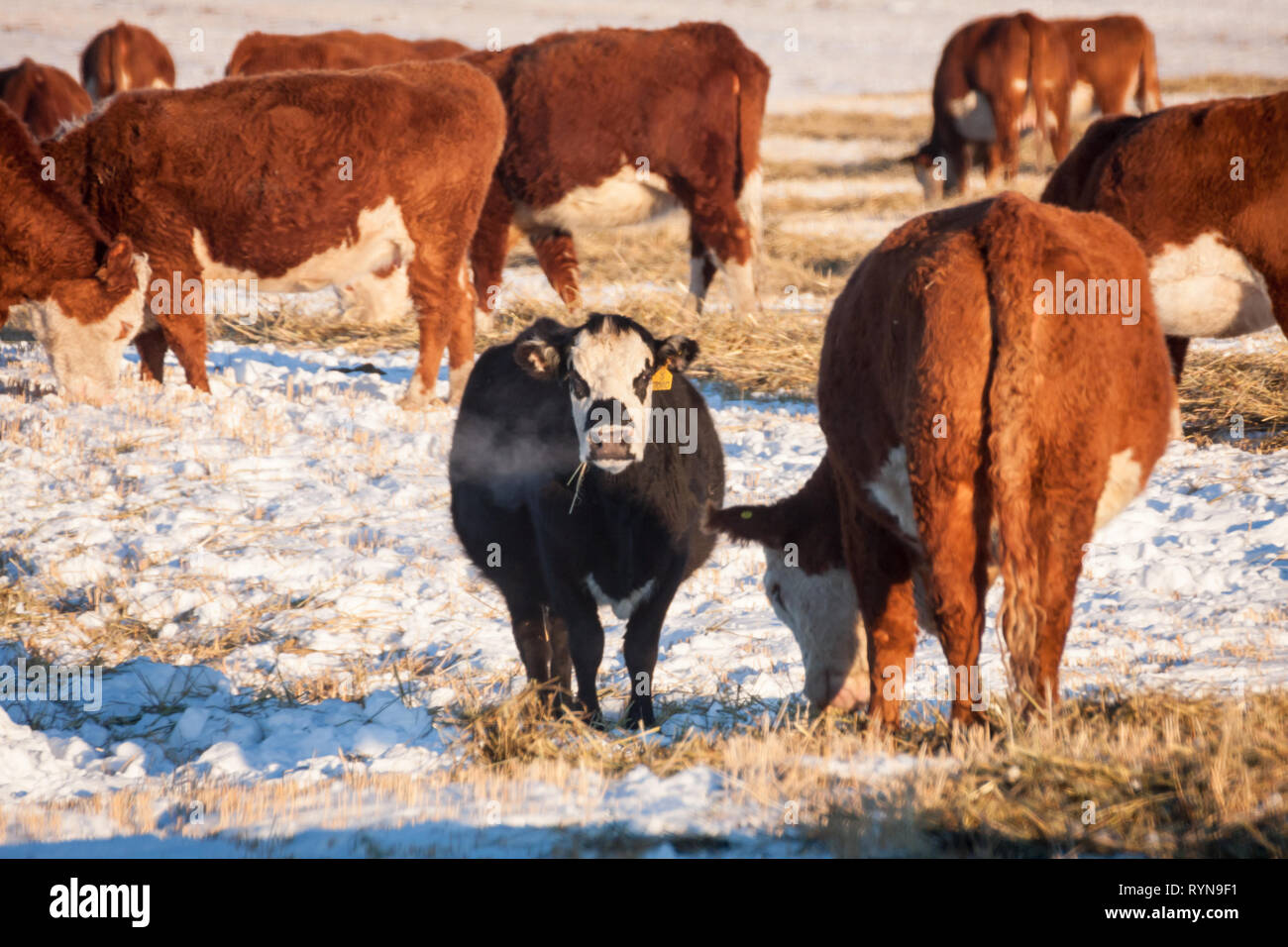 Well-fed cattle graze in field on cold but sunny winter day in rural Alberta — the heartland of ranching in Canada Stock Photo