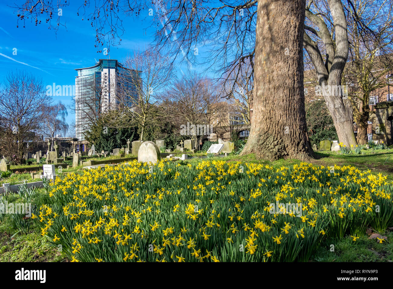 Early spring daffodils in Brompton Cemetery with the Empress State Building  the home of The Metropolitan Police counter terrorism HQ in the distance Stock Photo
