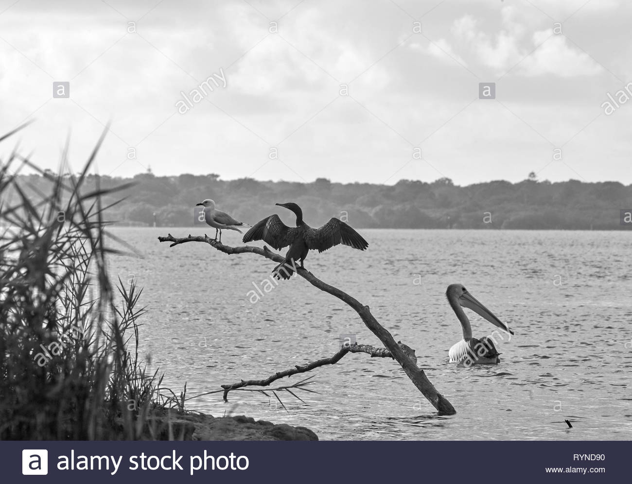 A black and white image of three birds - a Little Black Cormorant and Seagull, perched on a large branch in the water, with a Pelican paddling nearby. - Stock Image