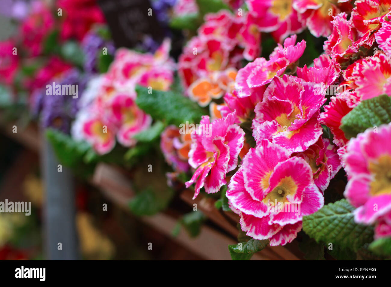 Pink Primula spring flowers with yellow middle and white tips on flower stand with blurry flowers in background - Stock Image