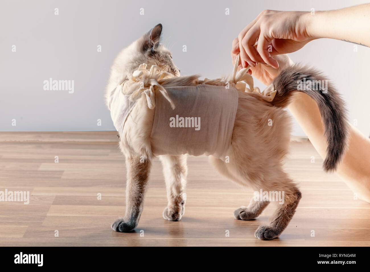 The owner removes the postoperative bandage with a cat - Stock Image