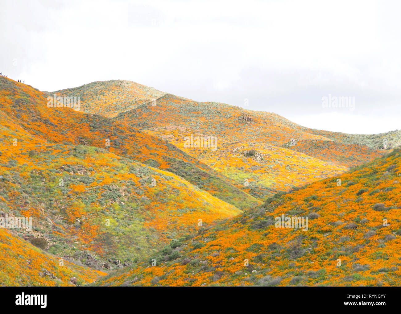 View of the hills along Walker Canyon in Lake Elsinore, Southern California exploding in orange poppy flowers, cloudy skies above. Super bloom. - Stock Image