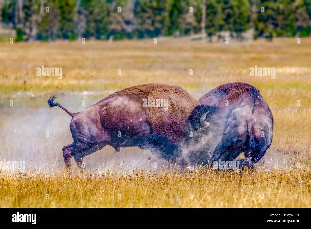 Giant alpha male bison smashes into another rival bison to show dominance and control of the heard. - Stock Image