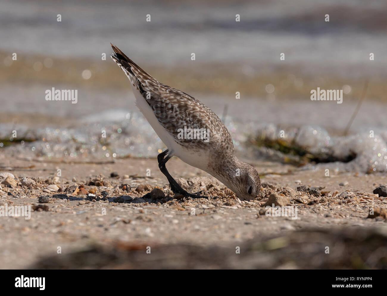 Black-bellied Plover, Pluvialis squatarola, in winter plumage feeding along the tideline. Florida Stock Photo
