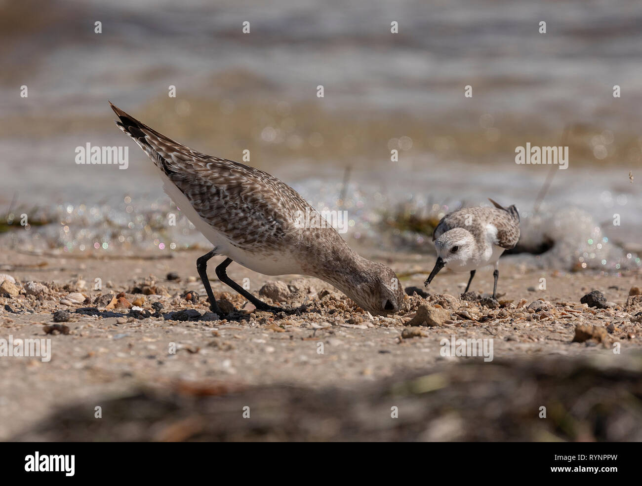 Black-bellied Plover, Pluvialis squatarola, in winter plumage feeding along the tideline, with Sanderling. Florida Stock Photo