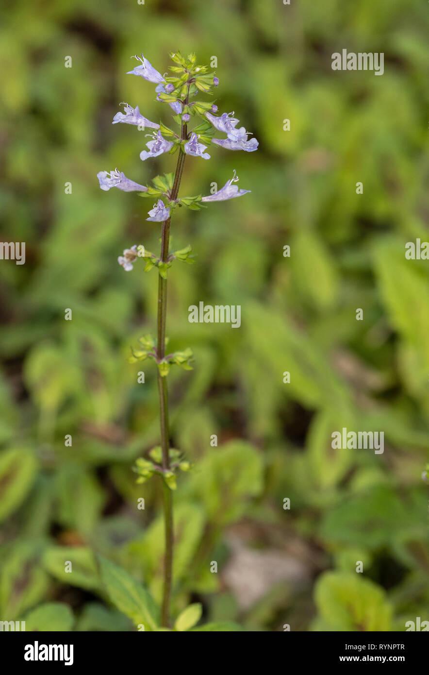 Salvia lyrata, lyre-leaf sage, lyreleaf sage, wild sage, cancerweed, - Stock Image