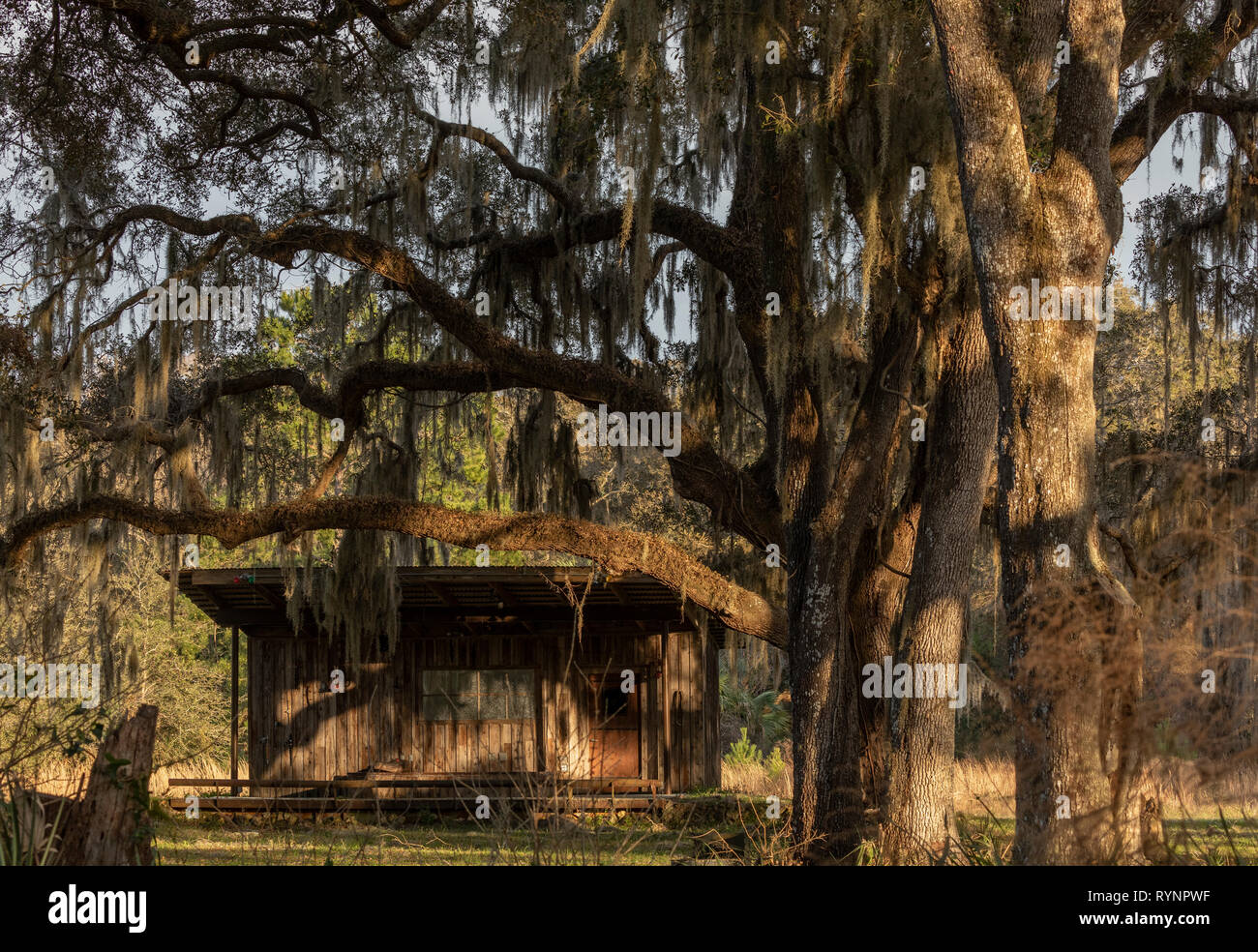 Rural Florida; old cabin in the woods surrounded by Spanish Moss. Crystal River Preserve State Park, Florida Stock Photo