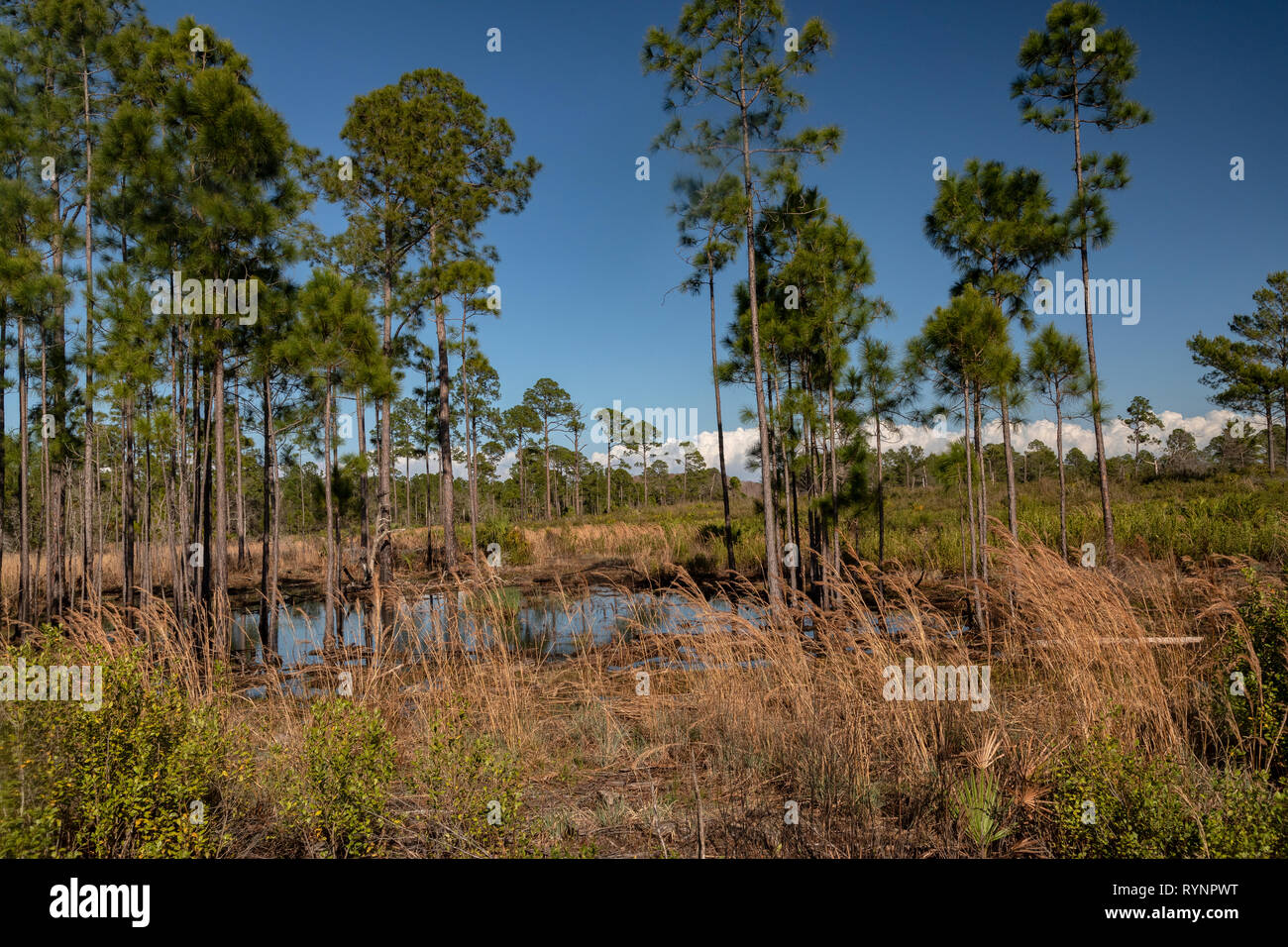 Pine flatwoods and scrub, in Cedar Key Scrub State Reserve, with Slash Pine trees. Florida. - Stock Image