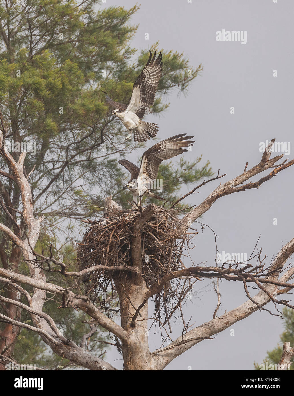 Osprey pair, Pandion haliaetus, in flight over the nest site in spring. Stock Photo