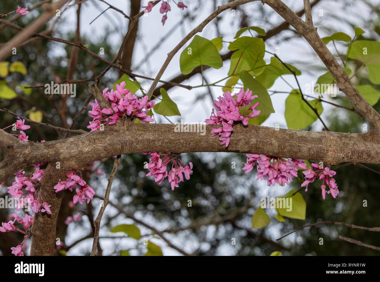 Eastern Redbud, Cercis canadensis, in flower in early spring, Florida. Stock Photo