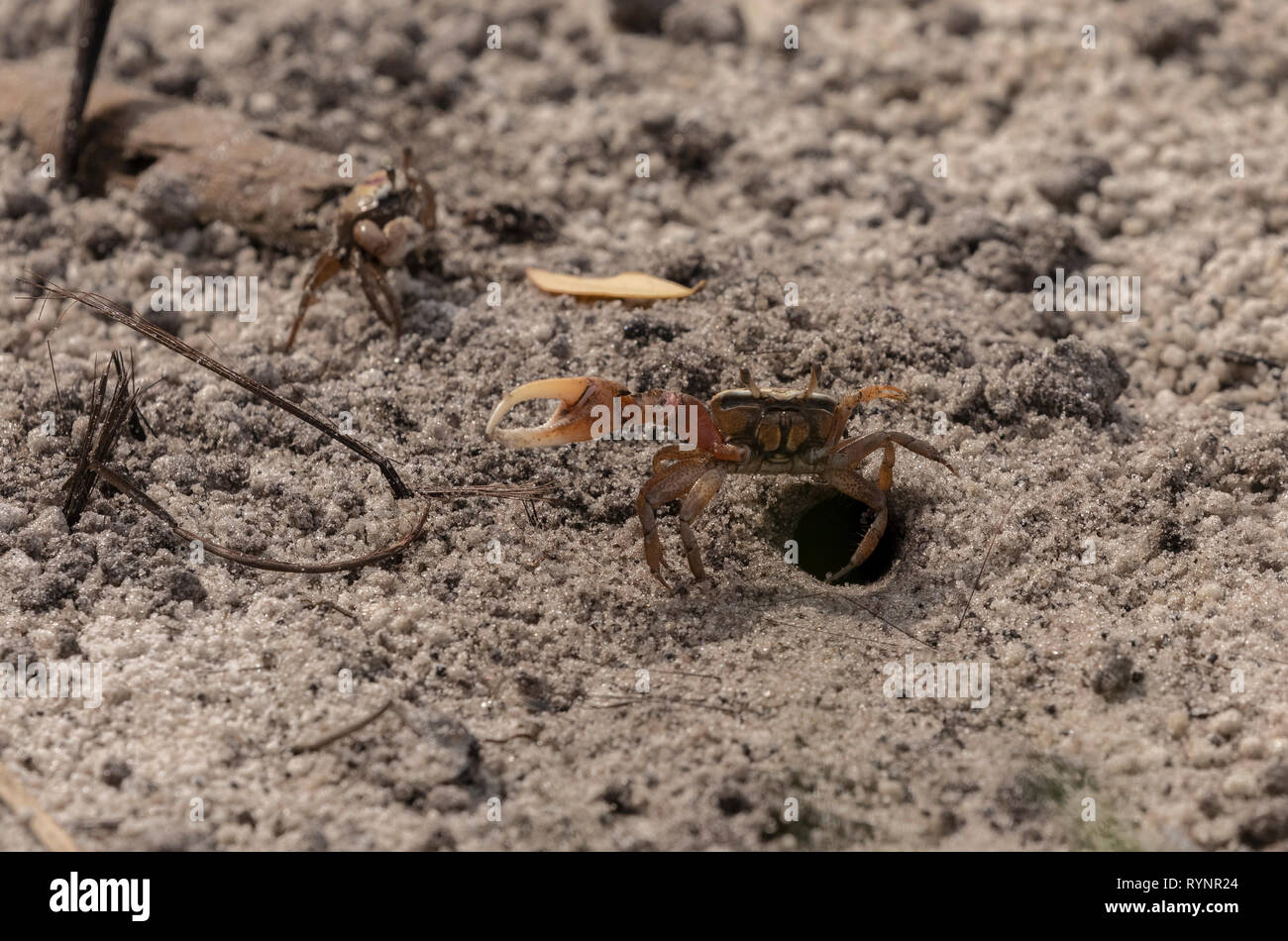 Male Gulf Coast Fiddler Crab, Uca panacea, feeding and displaying by its burrow on mudflats, Gulf of Mexico, Florida. Stock Photo