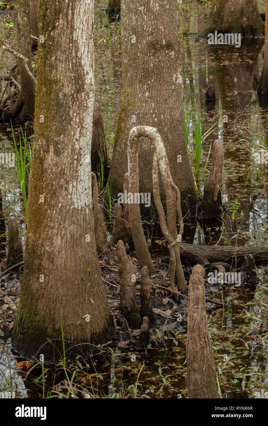 Bald Cypress, Taxodium distichum, knees in woodland in Lower Suwannee National Wildlife Refuge, West Florida. Stock Photo