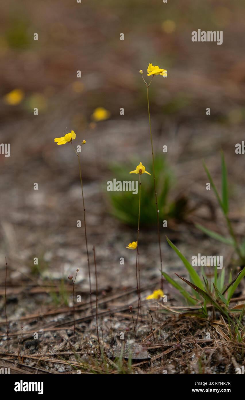 Utricularia juncea, southern bladderwort, in flower on damp track in woodland, West Florida. Stock Photo