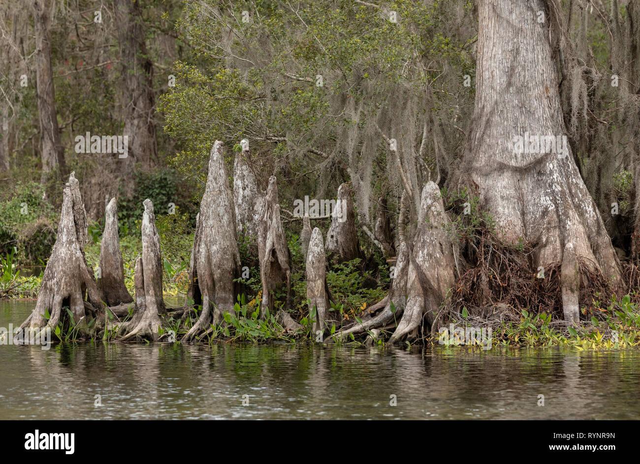 Bald Cypress, Taxodium distichum, woodland in Lower Suwannee National Wildlife Refuge, West Florida. Stock Photo