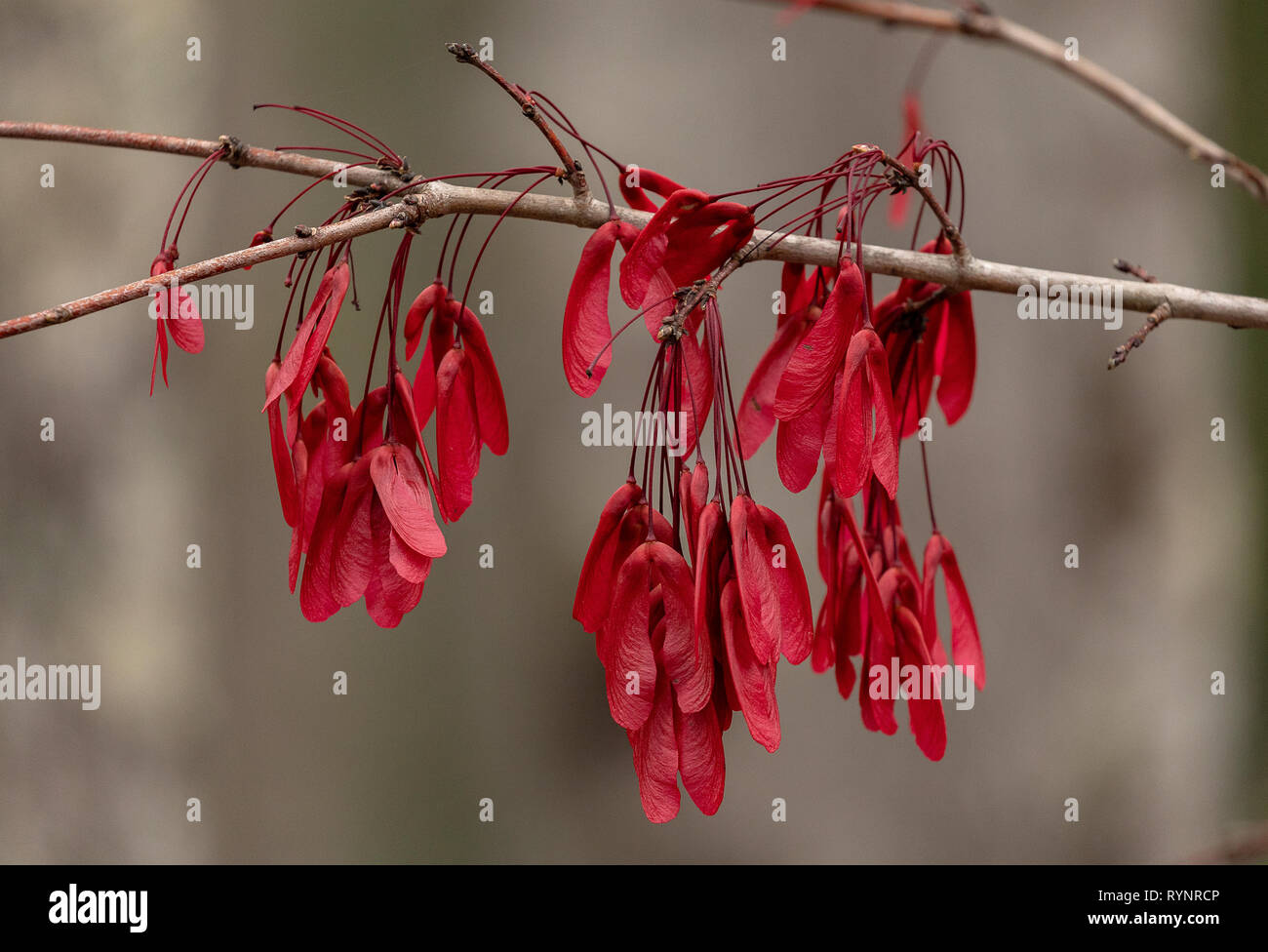 Red maple, Acer rubrum in fruit in winter, with beautiful red samaras. Florida. Stock Photo