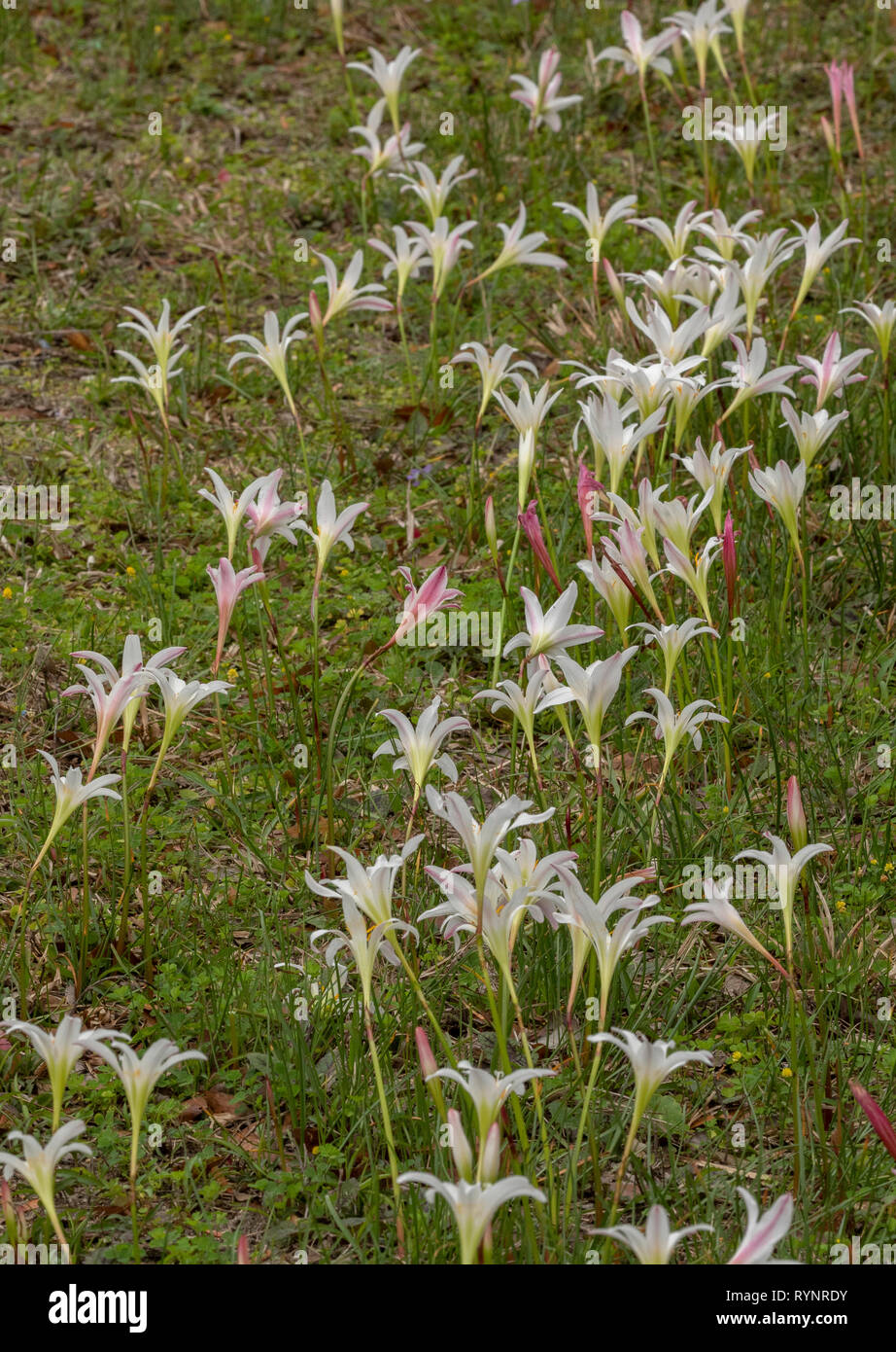 Atamasco-lily, Zephyranthes atamasca in flower in damp grassland; spring, north Florida. Stock Photo