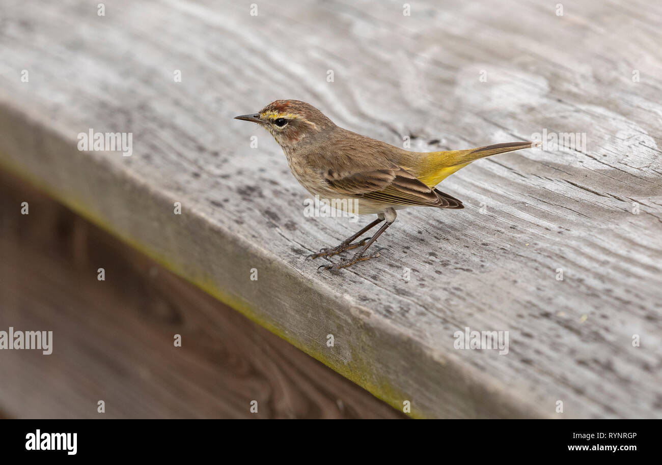 Palm Warbler, Setophaga palmarum, eastern form, perched on fence during northward migration; Florida. - Stock Image