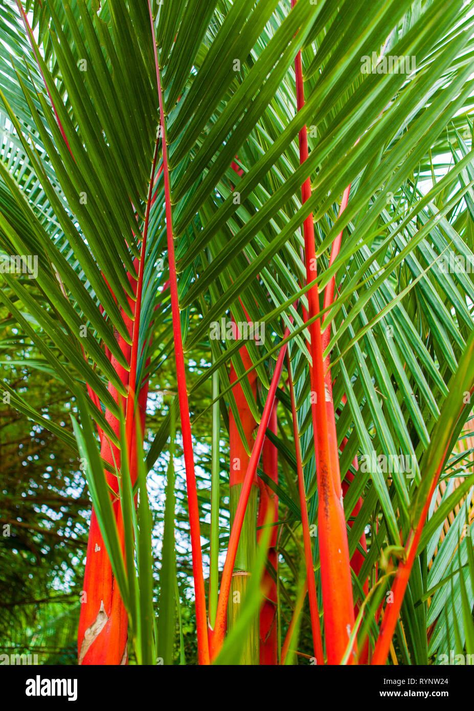 Cyrtostachys Renda Lipstick Palm For Sale