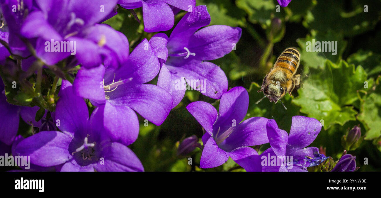 list of flowers that attract bees - Stock Image