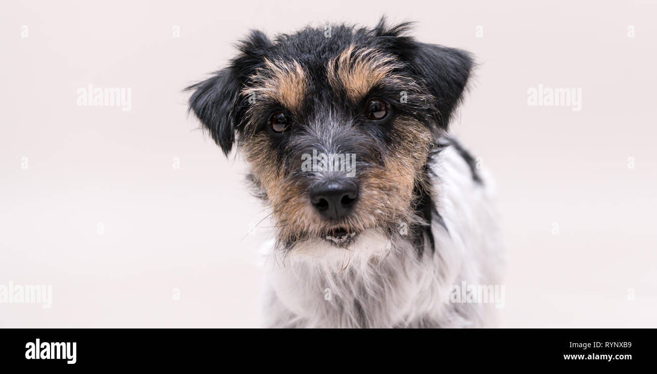 Jack Russell Terrier 2 years old dog - cute little doggy portrait isolated  against white background