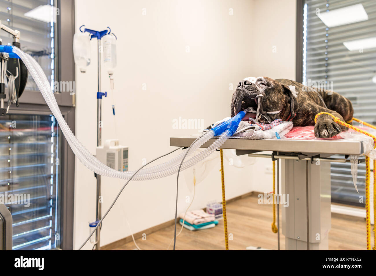 Big dog incubated in surgery room of veterinary clinic - Stock Image