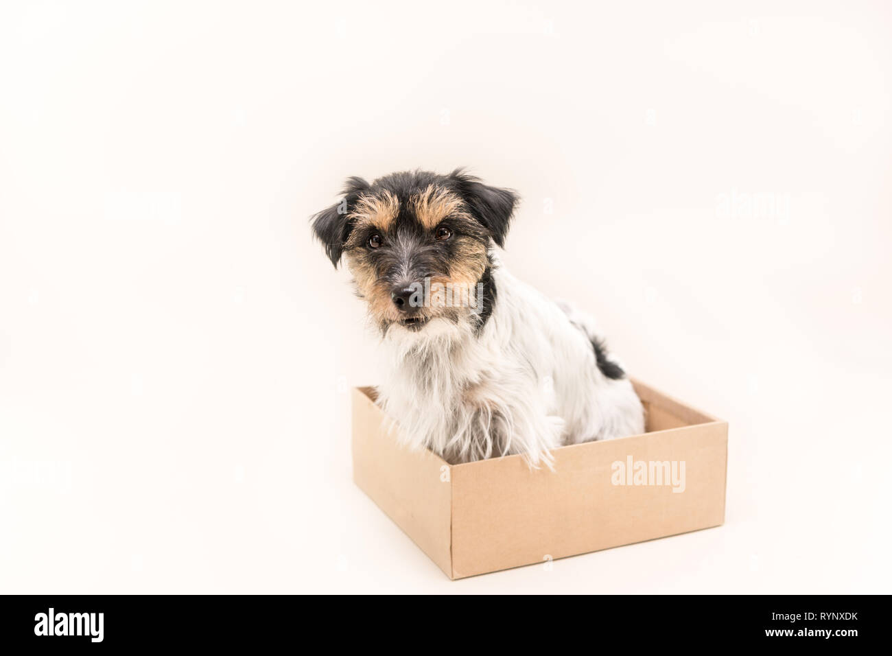 little dog sits obediently in a cardboard box. ready for mailing. Cute Jack Russell Terrier doggy 4 years old - hair style rough - Stock Image