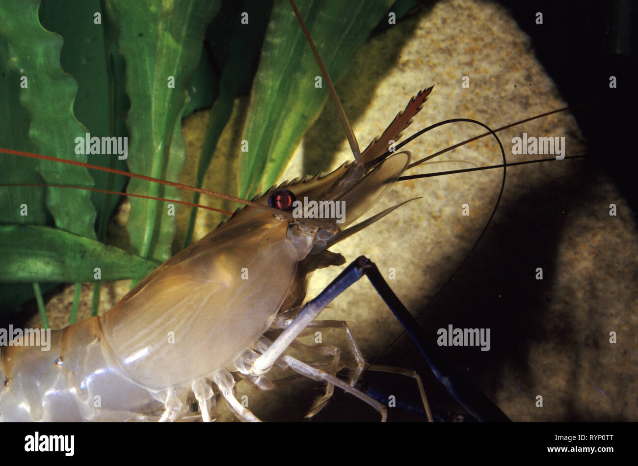 Giant Freshwater Prawn Stock Photos & Giant Freshwater Prawn