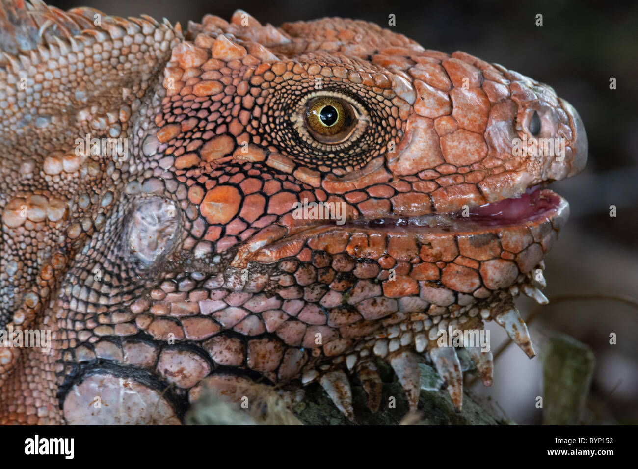 American Iguana gives a bit of tongue in this close up shot of its scaly orange head - Stock Image