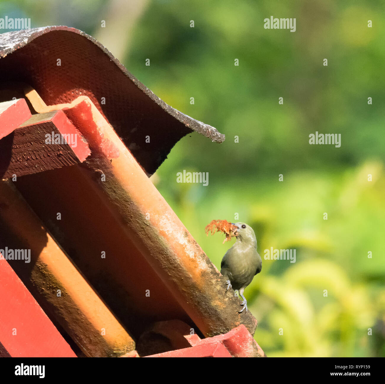 Carrrying nesting material a Palm Tanager pauses on a roof tile before heading to the next - Stock Image