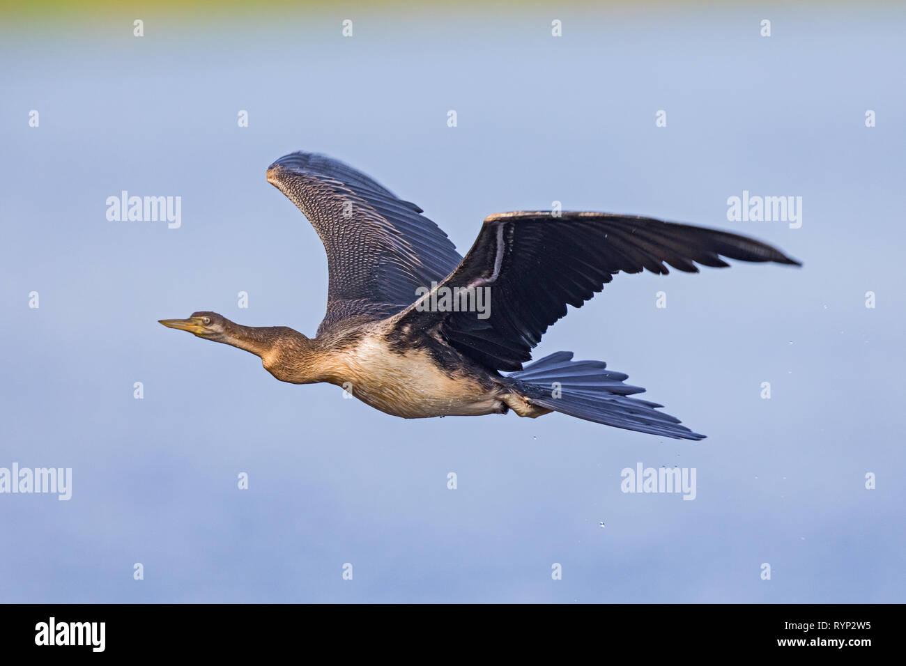 Australian darter (Anhinga novaehollandiae) - Stock Image