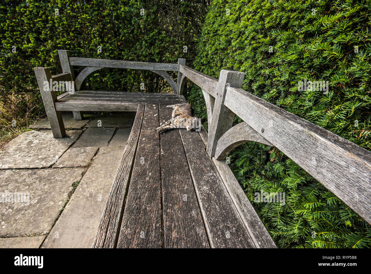 Cat resting on wooden bench by yew hedge, Taxus bccata, at Great Dixter garden - Stock Image