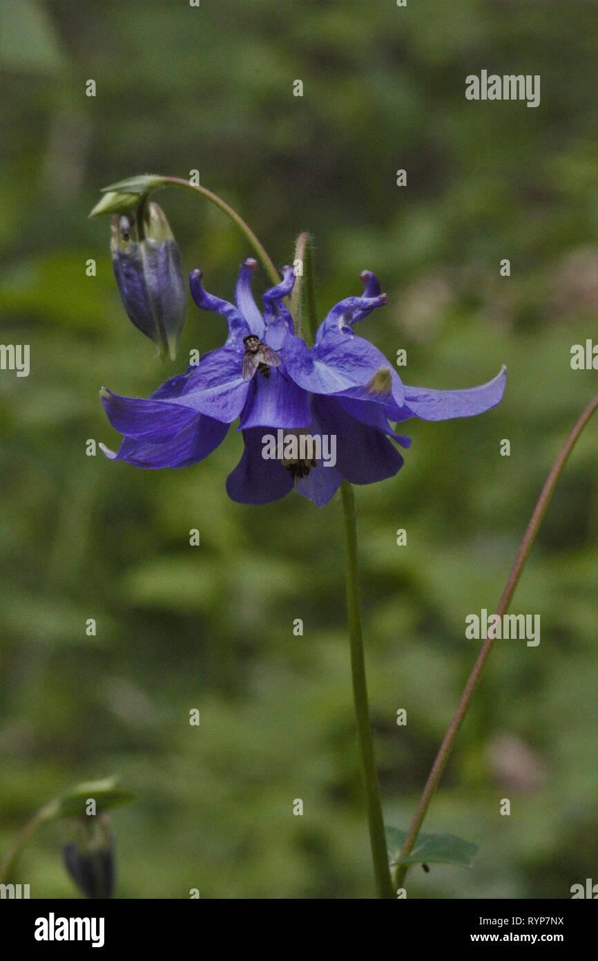 European Columbine (Aquilegia vulgaris) flowering at a beech forest clearing in Beckumer Berge, Germany - Stock Image