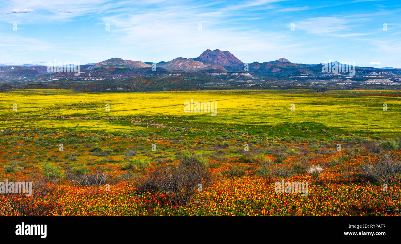 Wildflowers during a spring super bloom in the desert near Peridot, Arizona. - Stock Image