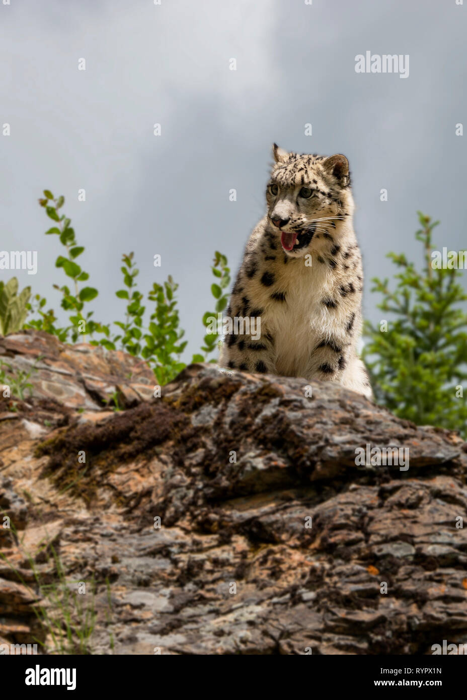 Ferocious Snow Leopard Stock Photo