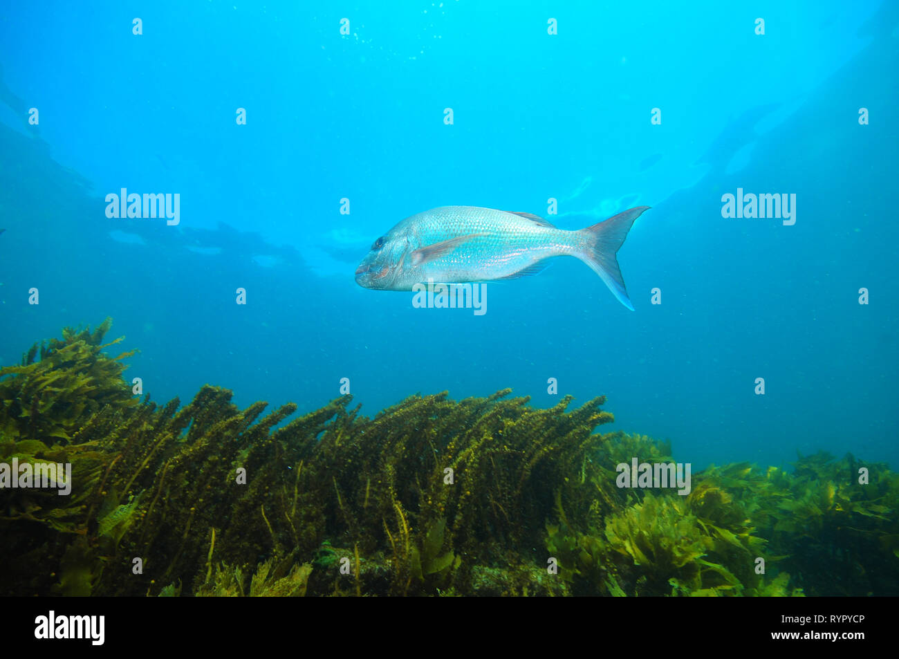 Australasian snapper Pagrus auratus hovering between blue sea surface and dense seaweeds covering bottom. - Stock Image