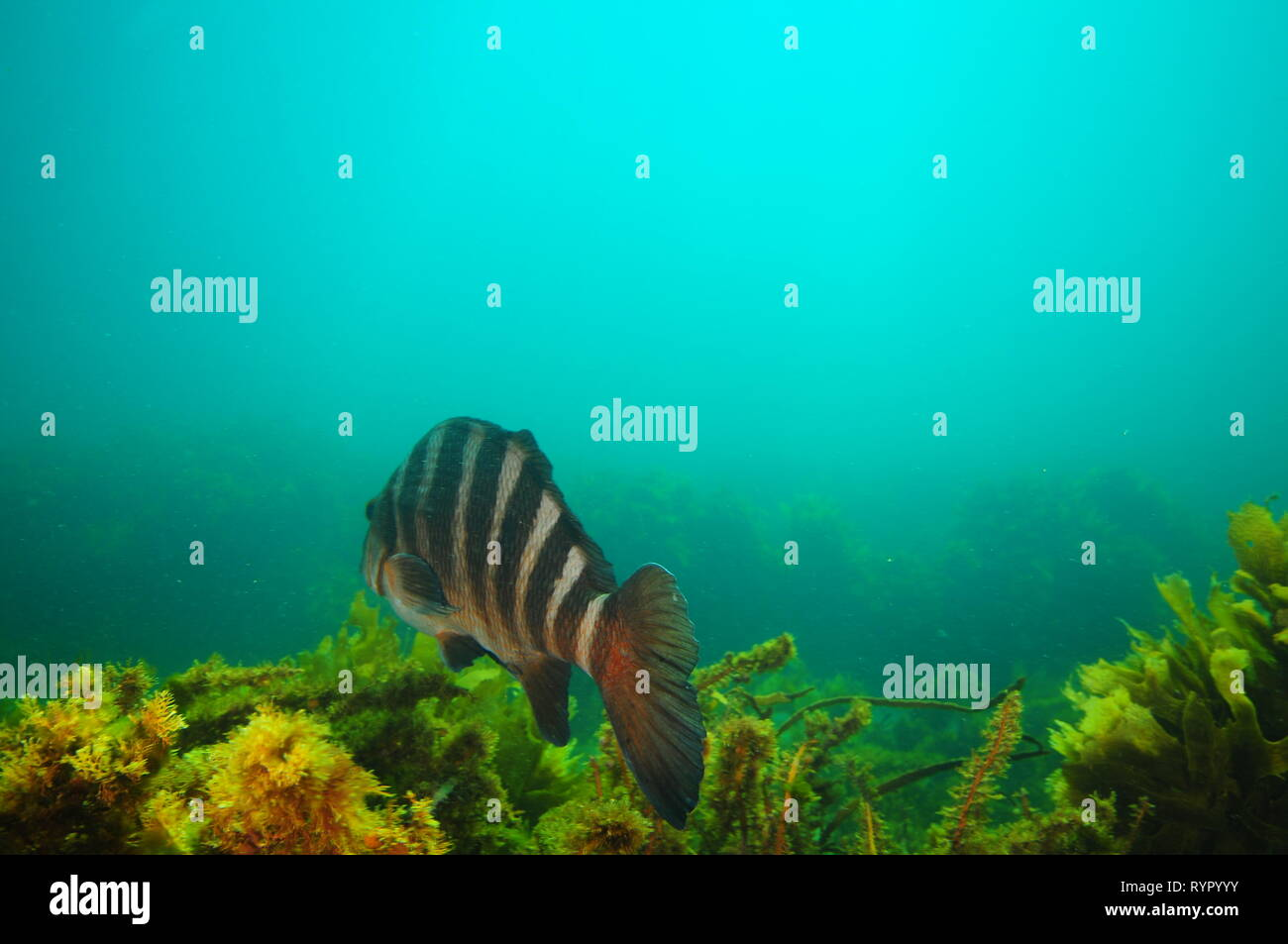 Large banded morwong Cheilodactylus spectabilis swimming away from camera above dense growth of seaweeds in hazy waters. Stock Photo