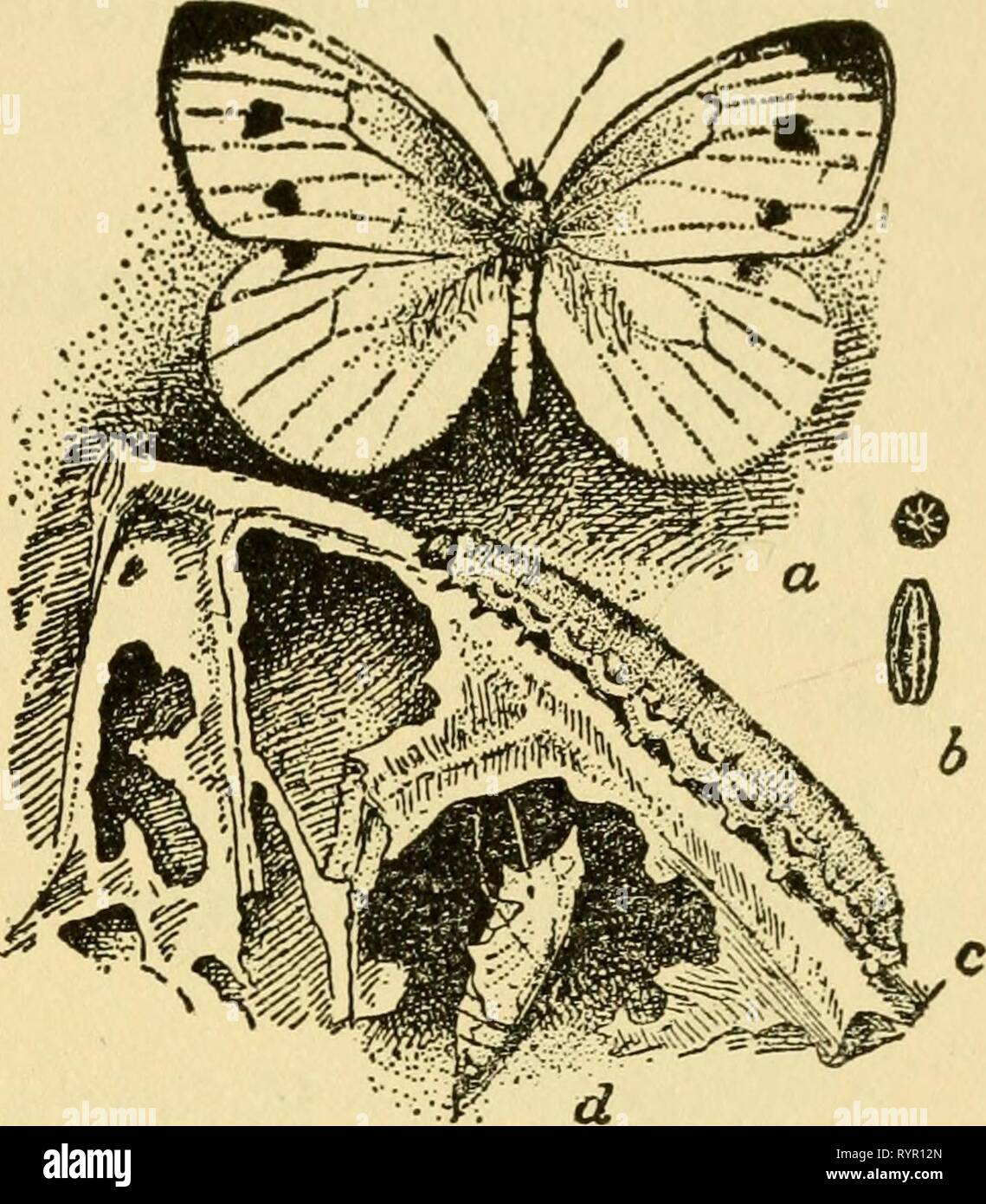 Elementary lessons on insects (1928) Elementary lessons on insects . elementarylesson00need Year: 1928  LEPIDOPTERA 111    Fig. 45.—The cabbage butterfly: a, the adult; b, end and side views of two eggs, enlarged; c, larva; d, pupa. From U. S. Dept. of Agriculture. 3. Collect miscellaneous adult butterflies from the flowers by day. 4. Collect miscellaneous moths at lights by night. 5. If dried specimens are to be used keep them over night in a relaxing jar. 6. Collect moths and caterpillars of some of the abundant sorts, such as spanworms or loopers, hornworms or sphinxes, and garden cutworms. - Stock Image