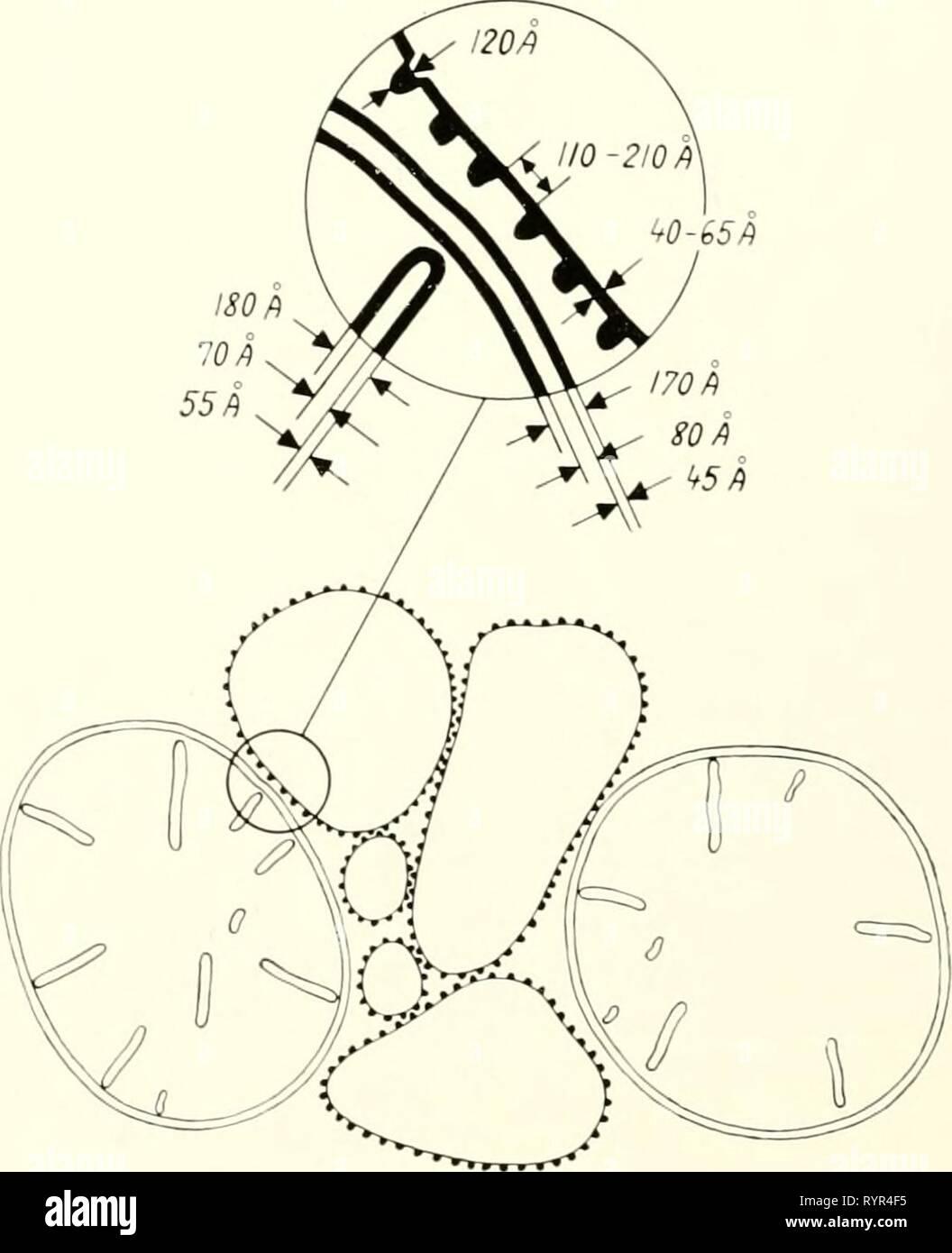 Electron microscopy; proceedings of the Electron microscopy; proceedings of the Stockholm Conference, September, 1956 . electronmicrosco00euro Year: 1957  Abb. 3. Schematische Darstellung der Modifikationen an den Mitochondrien und den a-Cytomembranen der Ratten- leber nach Behandlung mit Thyroxin. Links sind die normalen Verhaltnisse dargestellt. Stock Photo