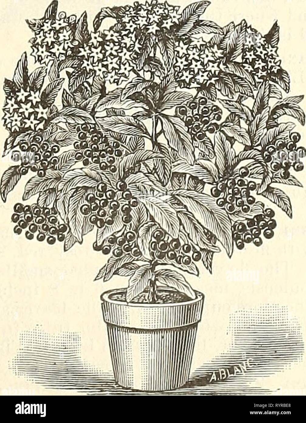 Dreer's mid-summer list  strawberry, Dreer's mid-summer list : strawberry, celery and other seasonable plants, seeds etc. July 1894 August . dreersmidsummerl1894henr Year: 1894  Alocasia Macrorhiza Variegata. A strictly handsome ornamental leaved plant, foliage nearly as large as Caladium Esculentum, light green, broadly splashed with white. Its easy growth, combined with rich variegation, makes this one of the most valuable decorative plants. 50 cts to $1.00 each. Ardisia Crenulata. A very ornamental greenhouse plant, with dark evergreen foliage, producing clusters of brilliant red berries ;  - Stock Image