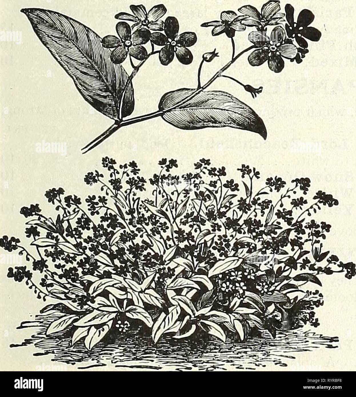 Dreer's midsummer list 1927 (1927) Dreer's midsummer list 1927 . dreersmidsummerl1927henr Year: 1927  io vjiai Physalis Francheti (Chinese Lantern Plant) IVflllSa Ensete (Abyssinian Banana) 3221 A splendid plant for the open air in the summer, producing a most striking effect when planted singly or in groups. In our hot summer it luxuriates and attains gigantic proportions when freely supplied with manure and water. The seeds germinate easily if started in hotbed. Tender perennial; 10 to 20 feet. 15 cts. per pkt. of 5 seeds; 25 seeds for 50 cts. Nemesia PER PKT. Dwarf Large-flowering Hybrids.  - Stock Image