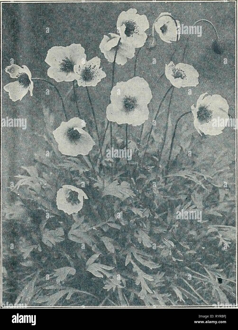 Dreer's midsummer list 1933 (1933) Dreer's midsummer list 1933 . dreersmidsummerl1933henr Year: 1933  DREER'S FLOWER SEEDS FOR SUMMER AND AUTUMN SOWING 15 Hardy Perennial Phlox (p. oecussata) PER PKT. 3641 Hardy herbaceous perennials. The seed we send out has been saved from an unrivalled collection, and is supplied in mixture only, j oz., 75 cts $0 15 PhySaliS (Chinese Lantern Plant) 3646 Francheti. An ornamental plant, forming dense bushes about 2 feet high, producing freely its bright orange-scarlet lantern-like fruits, which can be cut and dried for winter bouquets. I oz., 40 cts 10 PhySOS - Stock Image