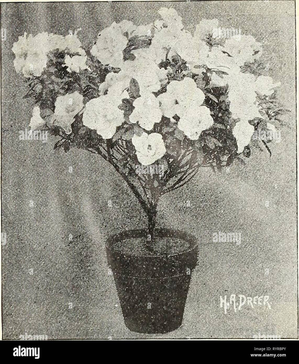 Dreer's wholesale price list autumn Dreer's wholesale price list autumn edition September to December 1901 : bulbs plants flower and vegetable seeds, fertilizers, tools, insecticides etc . dreerswholesalep1901henr_1 Year: 1901  ASPARAGUS SPRENGERI.    AZALEAS SPECIAL PRICES FOR IMME= DIATE ORDERS. We are now booking orders for fall delivery. %%%%%%%% Buyers who use a quantity of this most popular Easter blooming plant will find it to their interest to place their orders for next season's wants early, thereby securing the choice of the stock at lowest cost for trans- portation, as the plants ca - Stock Image