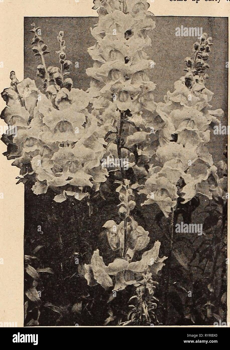 Dreer's midsummer list 1920 (1920) Dreer's midsummer list 1920 . dreersmidsummerl1920henr Year: 1920  10 HENRY A. DREER, PHILADELPHIA—FLOWER SEEDS r m    AQ1JIL,EGIA (Columbine) No hardy plant grown from seed is more easily handled than the Columbine. Seed may be sown in the open ground early in spring, and will, in most cases bloom the same season; or they may be planted in August or September, and will come up early in spring and make vigorous plants, which will bloom abundantly during late spring and early summer. Columbines should be planted wherever their presence will serve to lighten up - Stock Image