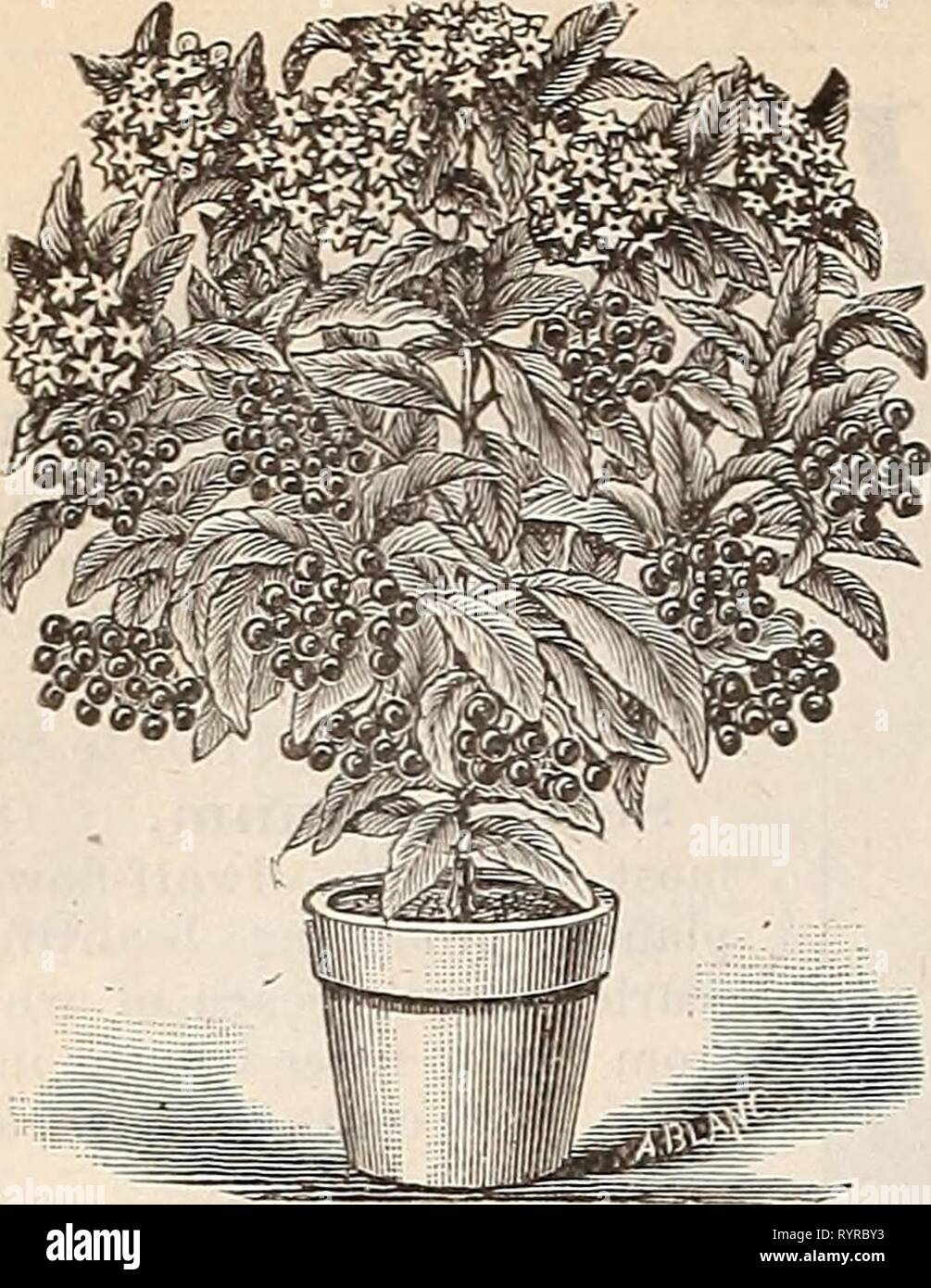 Dreer's mid-summer list, strawberry plants, Dreer's mid-summer list, strawberry plants, celery and other seasonable plants, seeds etc. : July 1896 August . dreersmidsummerl1896henr Year: 1896  14 DREER'S MID-SUMMER LIST.    Ardisia Crennlata. A very ornamental greenhouse plant, 'with dark ever- green foliage, producing clusters of brilliant red berries. A first-class house plant in winter. 50 to 75 cents each. - Stock Image