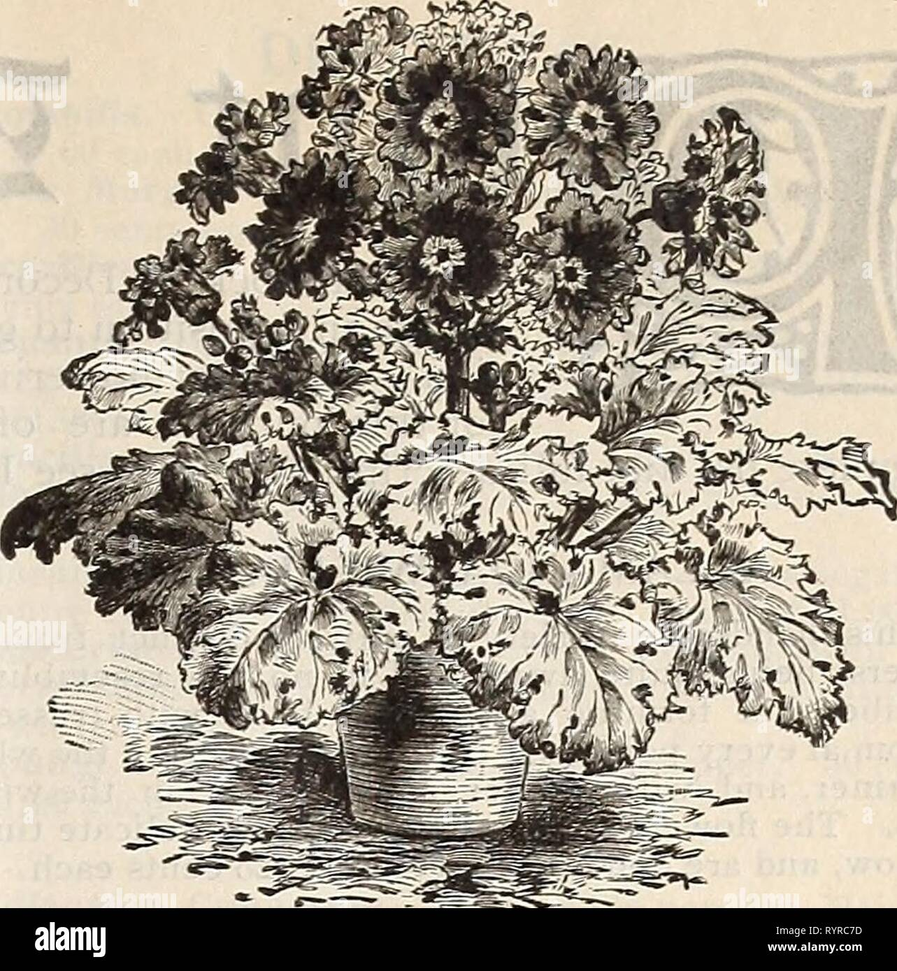 Dreer's mid-summer catalogue 1897  Dreer's mid-summer catalogue 1897 : pot-grown strawberry plants, celery and other seasonable plants, seeds etc . dreersmidsummerc1897henr Year: 1897  Jif PANSIES. Dreer's Superb Strains. Fer pkt. This attractive plant is too well known to require any description, as it is a favorite with all. We have made careful tests of all the leading strains, and offer the following as the best in their several classes. 6238 Dreer's Royal Exhibition. This strain com- prises a beautiful collection of colors and mark- ings, and we are confident it will prove satisfac- tory  - Stock Image