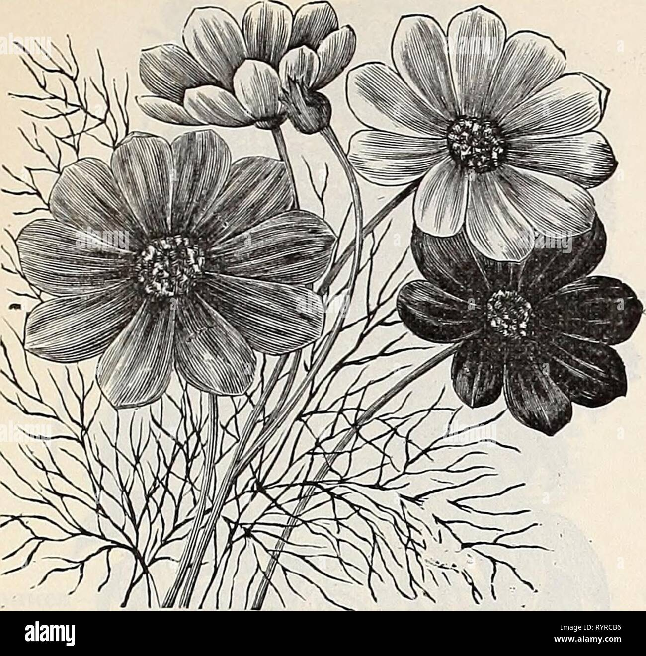 Dreer's quarterly wholesale price list Dreer's quarterly wholesale price list of reliable seeds, plants, bulbs &c . dreersquarterlyw1899henr Year: 1899  DREER'S RELIABLE FLOWER SEEDS. 13    (Jos-Mos, Labge Flowering. Convolvulus major, mixed {Morning Glory) lb. 35 cts. major double minor mixed {Dtuarf Morning Glory) lb. 35 cts yi2xi.rXAmzws>, fine basket plant Cosmos, Giant Perfection crimson â ] greatly im- Tr. pkt Oz. proved strain extra large flowers . . Giant Perfection pink . ' ' white. ' ' mixed Large Flowering ordinary mixed . . . . . Dwarf Early Flowering '' Dawn ' ' ' ' mixed Cows - Stock Image