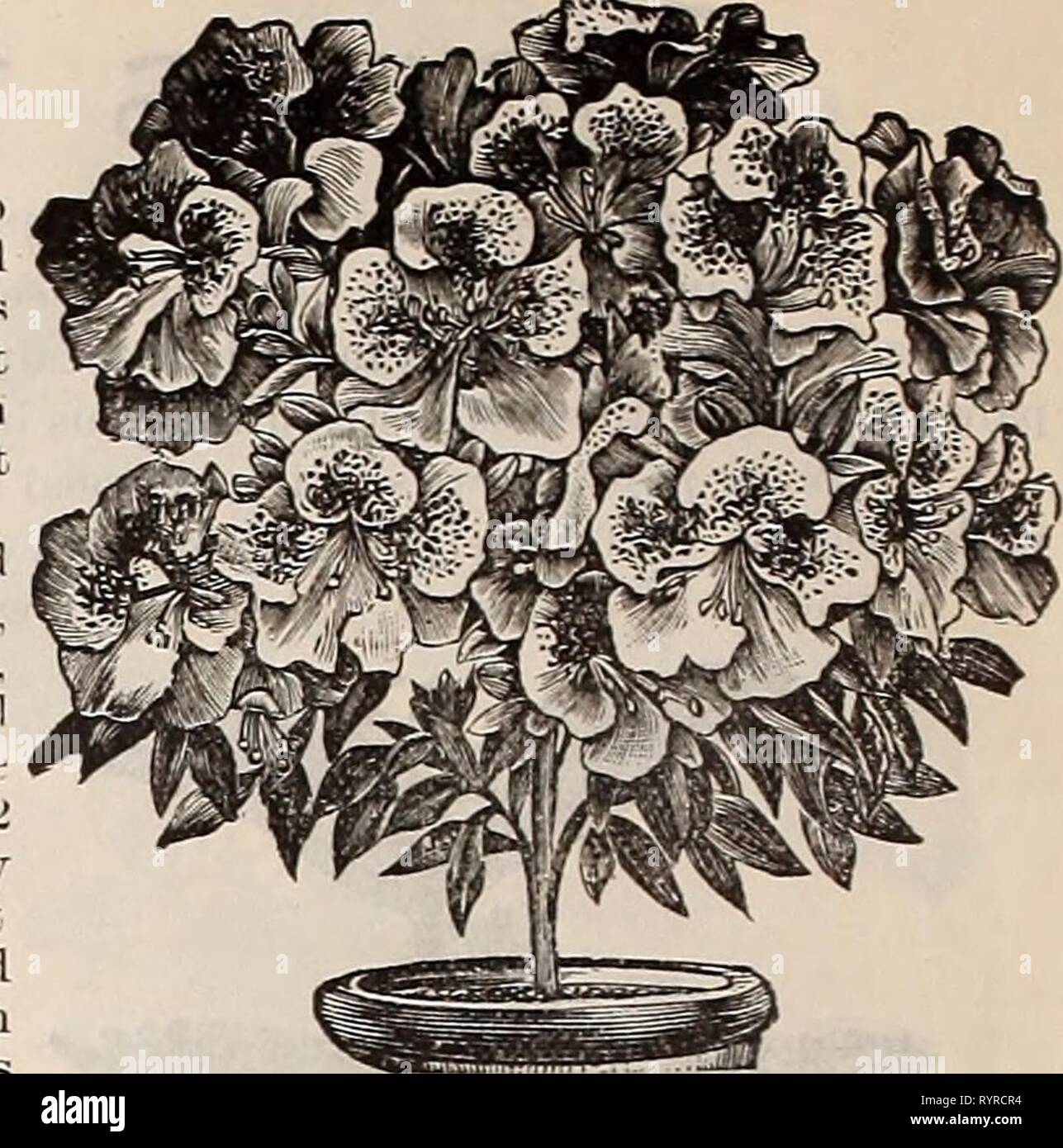 Dreer's quarterly wholesale price list Dreer's quarterly wholesale price list of seeds, plants, bulbs, &c. : summer edition July 1895 August . dreersquarterlyw1895henr_2 Year: 1895  12 DREER'S WHOLESALE PRICE LIST. Inprl Order's for1 ib®$.    We are now booking orders for fall delivery. Bayers who use a quantity of this most popular Easter blooming plant, will find it to their interest to place their orders for next season's wants early, thereby securing the choice of the stock at lowest cost for transportation, as the plants can be forwarded witli perfect safety during October, by fast frei - Stock Image